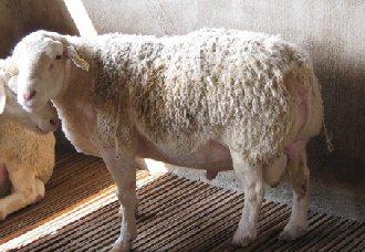 母羊流产的主要原因以及预防措施