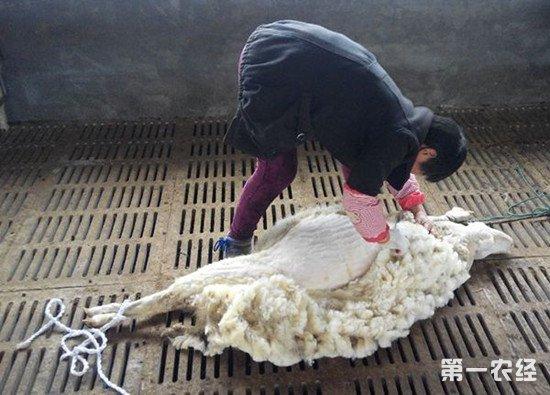 养羊如何抓绒和剪毛?抓绒和剪毛的操作方法