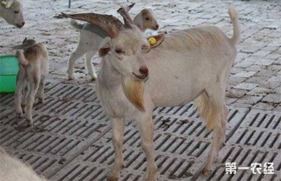 伏牛白山羊好不好养?伏牛白山羊的养殖管理