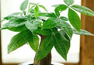 发财树要怎么种?发财树的种植方法与注意事项