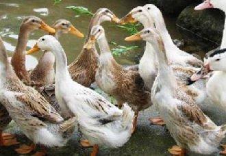 蛋鸭群中搭养公鸭要注意些什么?