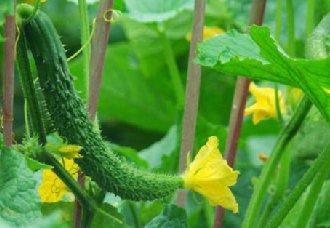 大棚黄瓜种植,帮助群众实现脱贫增收
