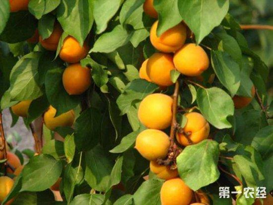 新疆果园风景赏析图片