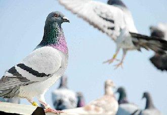 鸽子脚部冰凉的原因以及应对措施