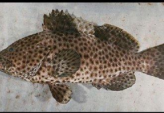 石斑鱼常见的四种寄生虫疾病以及治疗措施