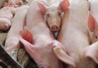 <b>猪马铃薯中毒的症状以及防治措施</b>