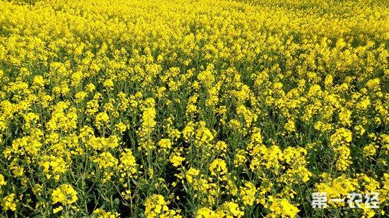 油菜实验基地农药化肥使用量减少25% 产量反增3%