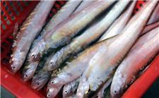 长江刀鱼禁捕后仍有人偷捞偷卖 高额利润是主因