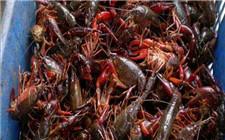 小龙虾即将大量上市 吃货们准备好了吗?