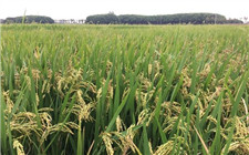 农业农村部:2018年全国粮食产量13158亿斤