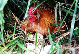 我国第一季度蛋鸡市场受借节日影响 需求量高