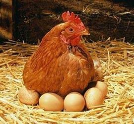 春季蛋鸡在饲养中要注意什么?春季蛋鸡饲养8个注意事项