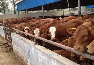 给牛驱虫要注意什么?牛驱虫的注意事项