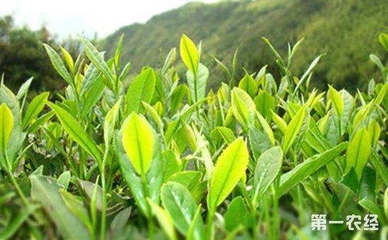 4月21日,记者在位于崂山风景区内的长岭社区看到,茶农们清早就开始了