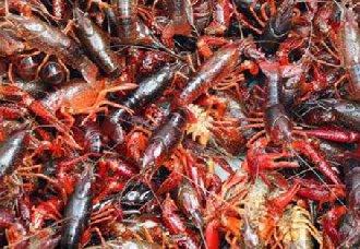 小龙虾黑鳃病的症状以及治疗措施