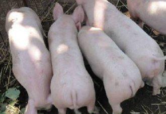 猪异食癖的原因、症状以及防治措施