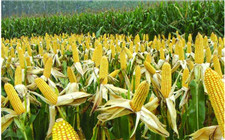 农业供给侧改革初见成效 玉米市场价格震荡上涨