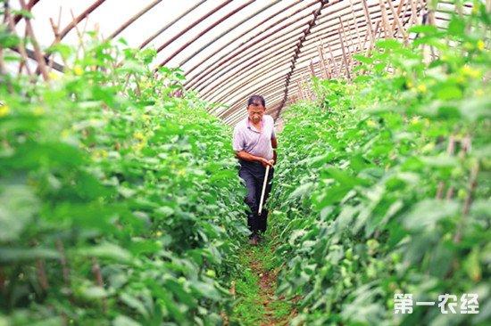 黄瓜怎么科学施肥?黄瓜高产施肥技巧