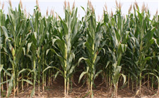 玉米穗期的管理注意事项 想高产做好这几点