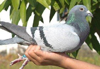 孵鸽子的时候要注意什么?人工孵鸽的注意事项