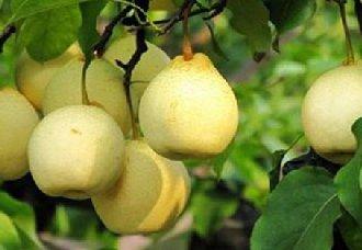 <b>这5个种梨即将被授予植物新品种权</b>