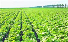 夏季种植蔬菜要注意防范这三种灾害