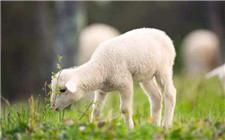 如何加快羔羊的生长速度?羔羊的养殖技巧