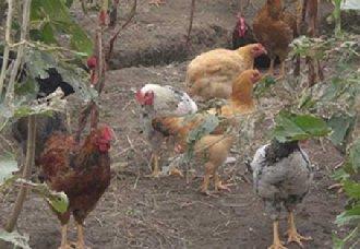 四川雷波生态土鸡养殖场让农户实现增收 如今已成先进村