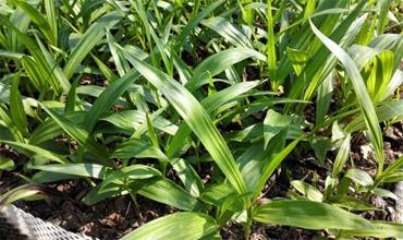 白芨种植后要怎么管理?白芨的田间管理技术
