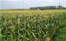 如何防止玉米减产?玉米生长期要注意防范这四点
