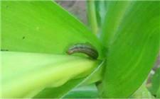 种植玉米时如何防范粘虫的危害?消灭粘虫的方法介绍
