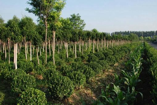 """苗木种植成为推动乡村振兴的绿色产业""""聚宝盆"""""""