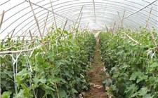 冬季温室黄瓜常见病虫害及防治方法