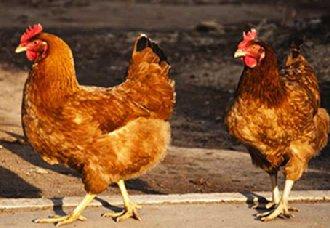 台湾彰化养鸡场再爆禽流感疫情 已扑杀近万只土鸡