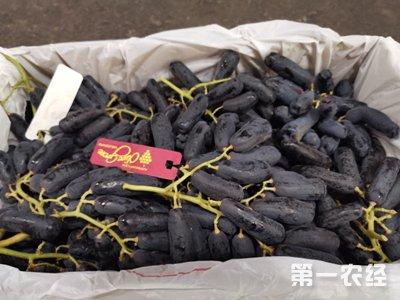 北京蓝宝石葡萄卖价高 零售价格一公斤140元