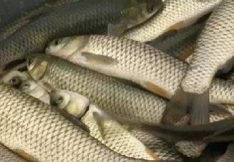 夏天养草鱼要注意什么?夏天养殖草鱼的注意事项