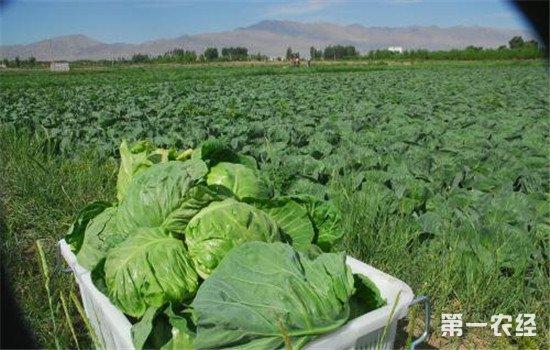 甘肃临泽:蔬菜合作社 带领农民走向致富路
