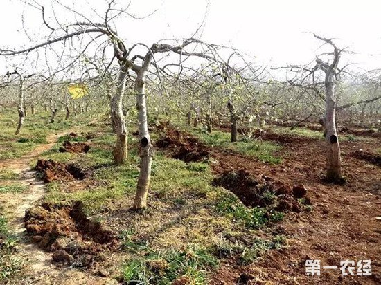 果园用什么有机肥效果好?果园有机肥选择注意事项