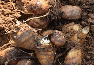 <b>芋头常见的病虫害有哪些?芋头的四个病害与防治方法</b>