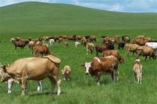 内蒙古土左旗:草业兴牧业旺 老百姓奔小康