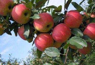 <b>西北农林科大自主研发的四个苹果新品种</b>