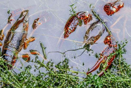 小龙虾产业成了三流乡脱贫攻坚的重要项目