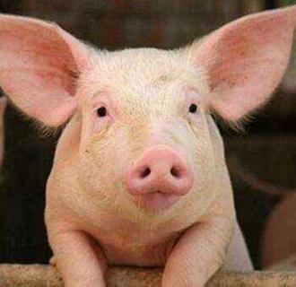 猪痢疾都有哪些症状?又该如何防治?