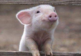 如何应对猪疥螨病、猪疥螨病、蛔虫病?
