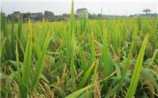 如何减少水稻的农药使用量?这些绿色防控方法要记牢