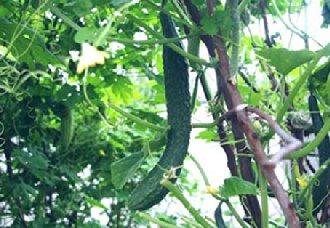 <b>黄瓜疫病要怎么防治?黄瓜疫病的发病条件与防治措施</b>
