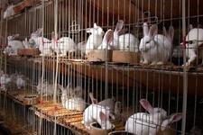 兔子是散养好呢,还是笼养?兔子散养和笼养的利弊