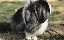 养一只比狗狗还大还拉风的兔子,是种什么样的体验?