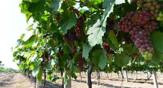 如何减少葡萄园发生病害?这些措施要做好
