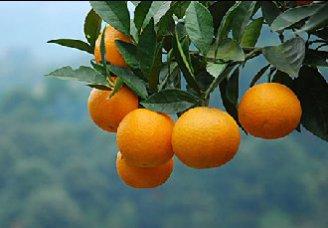 柑橘潜叶甲的发生规律及防治方法